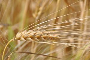 Hodowla zbóż tolerancyjnych nasuszę