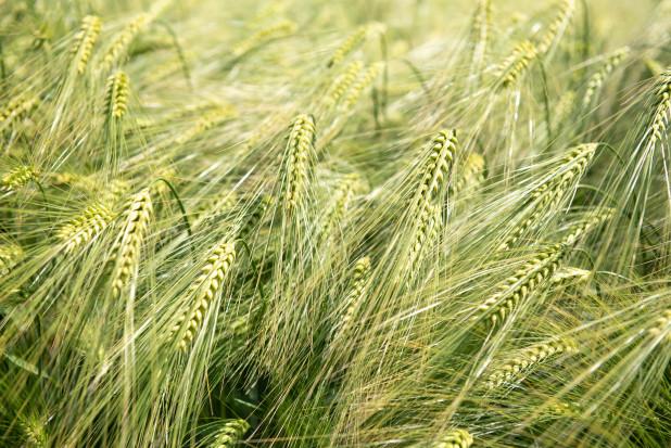 Jęczmień mieszańcowy –przegląd odmian