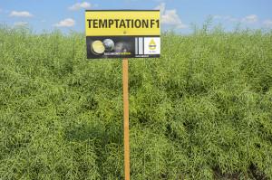 Temptation odznacza się silnym wigorem wzrostu jesiennego. Zakwita idojrzewa wterminie średnio wczesnym; Fot. Katarzyna Szulc