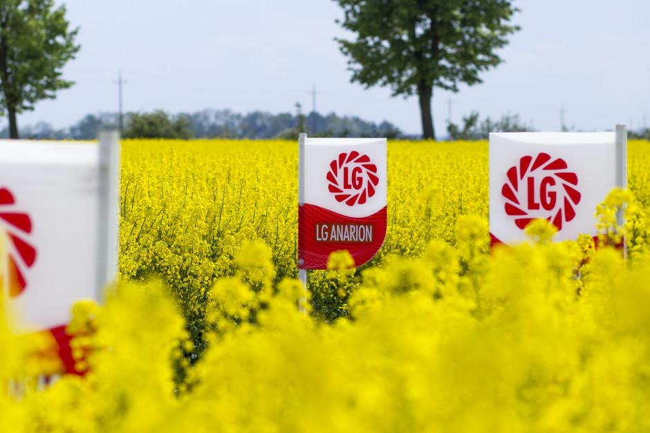 LG Anarion odznacza się potrójną tolerancją wstosunku do: żółtaczki rzepy, specyficznych ras kiły kapusty oraz suchej zgnilizny kapustnych; Fot. mat.prasowe