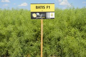 Odmiana Batis buduje silny system korzeniowy idobrze radzi sobie na słabszych glebach, atakże wwarunkach okresowego niedoboru wody; Fot. Katarzyna Szulc