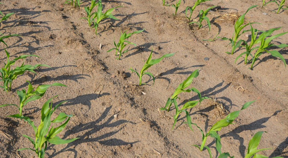 Szkodniki kukurydzy a agrotechnika