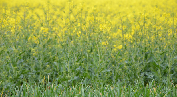 Koronawirus a produkcja roślinna