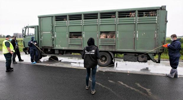 O siedem świń za dużo w ciężarówce