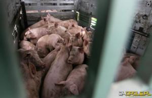 Kontrola wykazała, że w transporcie jest o 7 świń za dużo