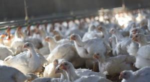 Grypa ptaków: Sytuacja w powiecie żuromińskim nadal jest dramatyczna