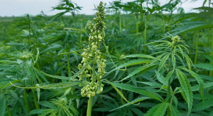 Konopie siewne – wczesne odmiany rozpoczęły kwitnienie