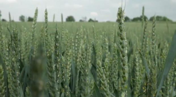 Zdrowa podstawa źdźbła to warunek konieczny do utrzymania wysokiego plonu zbóż
