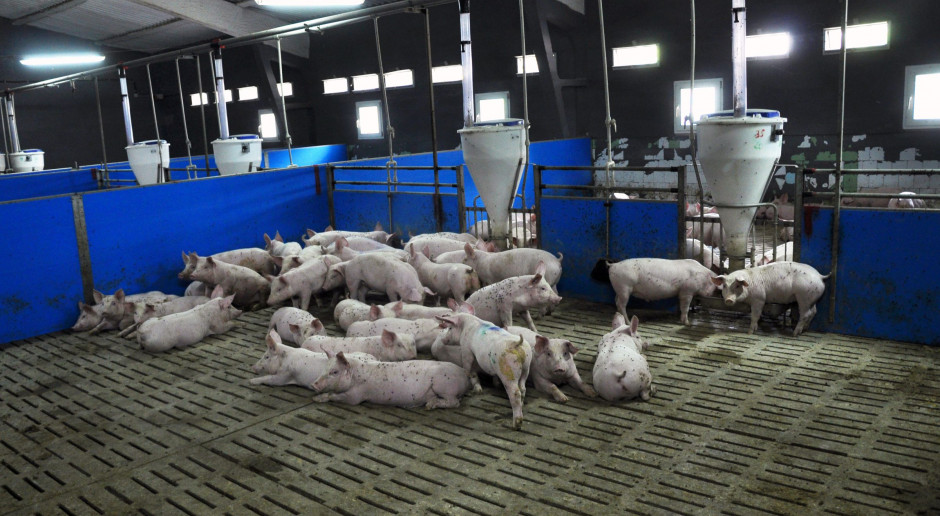Badania krwi na ASF, przed sprzedażą świń - mogą być niewykonalne