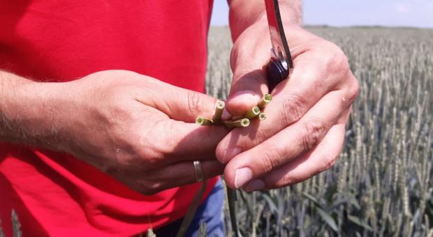 Dni Pola On-Line: Sprawdzian dla zabiegu T-1 i regulacji zbóż