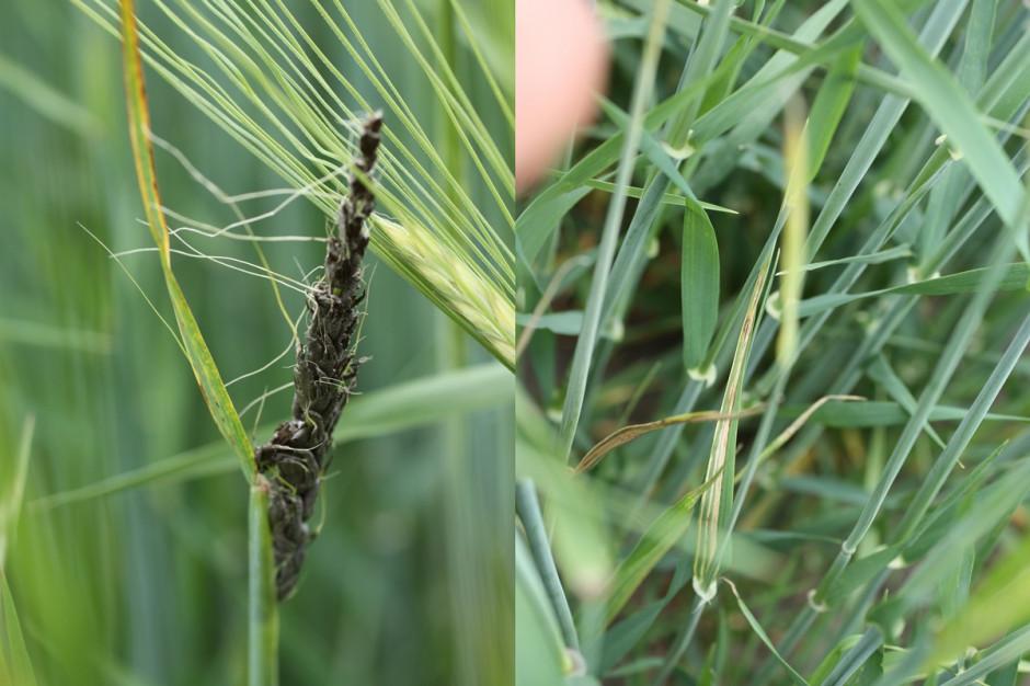Głownia pyląca jęczmienia (z lewej) oraz pasiastość liści jęczmienia: Fot. G. Lemańczyk