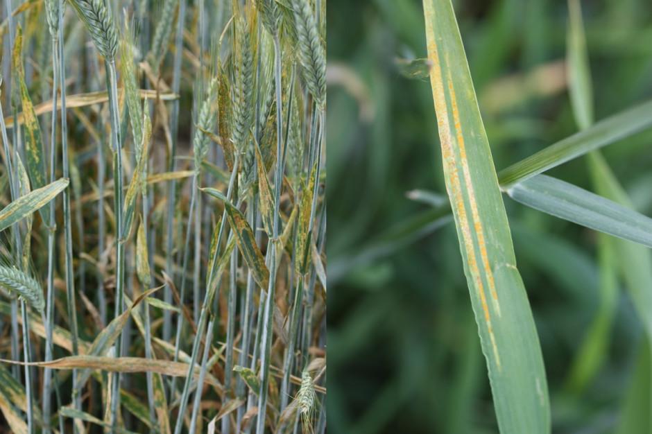 Rdza żółta na pszenżycie (z lewej) i jęczmieniu jarym Fot. G. Lemańczyk