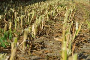 Słoma kukurydziana jest bardzo dobrym źródłem węgla, natomiast słabym źródłem azotu dla mikroorganizmów glebowych