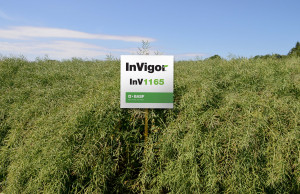 BASF Polska  INV1165 – KR 2017. Odmiana mieszańcowa. Stabilnie plonuje nawet wwarunkach silnego stresu środowiskowego. Szybki rozwój jesienny idobre zdolności regeneracyjne po uszkodzeniach zimowych, wysoka zimotrwałość. Odznacza się podwyższoną tolerancją na suchą zgniliznę kapustnych. Sprawdza się na dobrych, średnich oraz słabszych glebach. INV1266CL – CCA. Odmiana mieszańcowa oszybkim rozwoju jesiennym. Sprawdzająca się wróżnych warunkach klimatyczno-glebowych. Podwyższona tolerancja na suchą zgniliznę kapustnych. Wysoka zimotrwałość. Bellevue – KR 2008. Odmiana populacyjna. Szczególnie przydatna do uprawy na słabszych glebach. Rośliny pokrojem zbliżone do odmian mieszańcowych, zdobrze rozwiniętym systemem korzeniowym. Dobry wigor jesienny. Możliwe lekko spóźnione siewy.