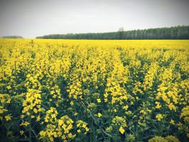 Hodowla Roślin Smolice – Grupa IHAR Bono – KR 2020. Zalecana do uprawy na terenie całego kraju zimotrwała iwysokoplenna odmiana populacyjna, osilnym wzroście jesiennym iszybkiej regeneracji uszkodzonych części wegetatywnych zimą. Toleruje opóźniony termin siewu. Termin zakwitania idojrzewania średnio wczesny. Rośliny odobrej odporności na wyleganie. Wysoka masa tysiąca nasion itłuszczu, aniska glukozynolanów.