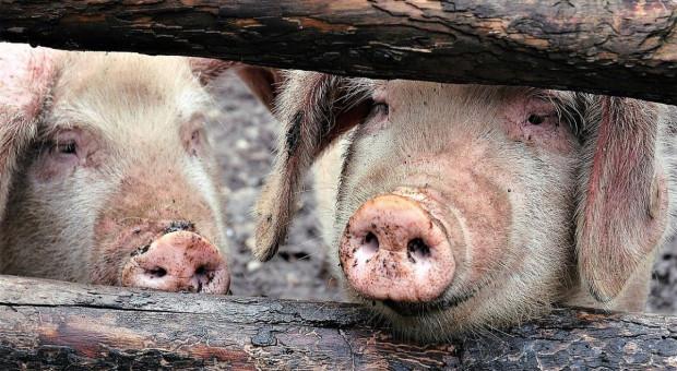 Nowy szczep grypy odkryty u świń w Chinach zagraża ludziom