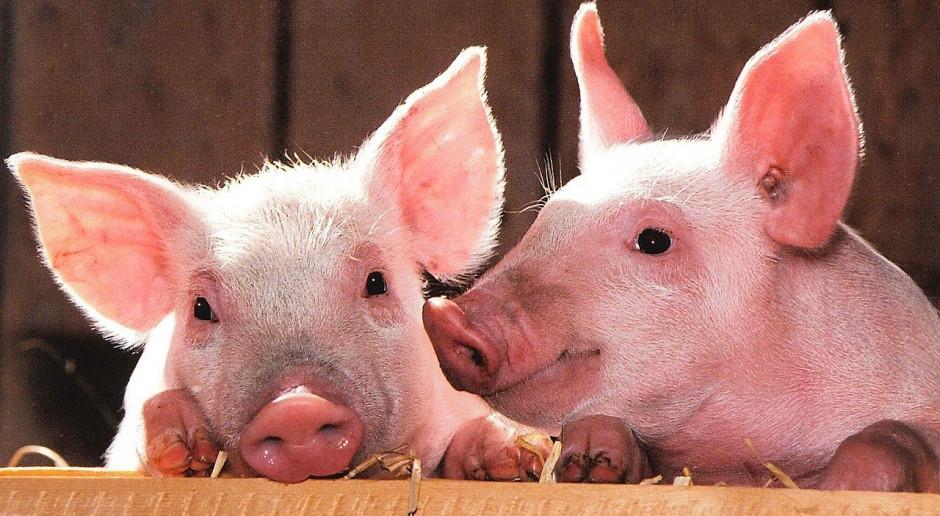USA: Populacja świń rośnie z powodu pandemii