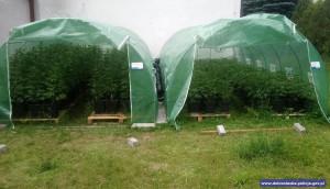 Hodowane nielegalnie rośliny znajdowały się w różnych fazach wzrostu, Foto: Policja