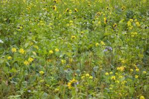 Companion cropping,  czyli uprawa rzepaku zroślinami towarzyszącymi