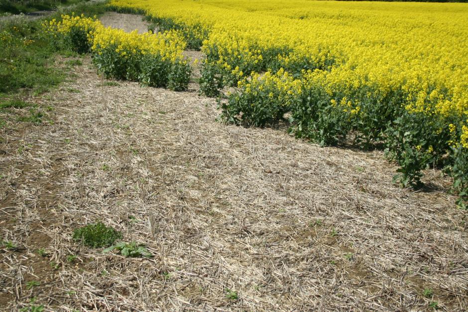 Takie szkody potrafią wyrządzić ślimaki na plantacji rzepaku ozimego w ciągu zaledwie kilku dni.