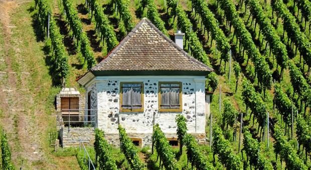 KE: Pomoc dla plantatorów winorośli w UE