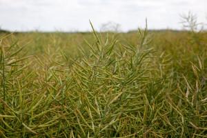 Doglebowa czy nalistna? Ochrona herbicydowa rzepaku ozimego