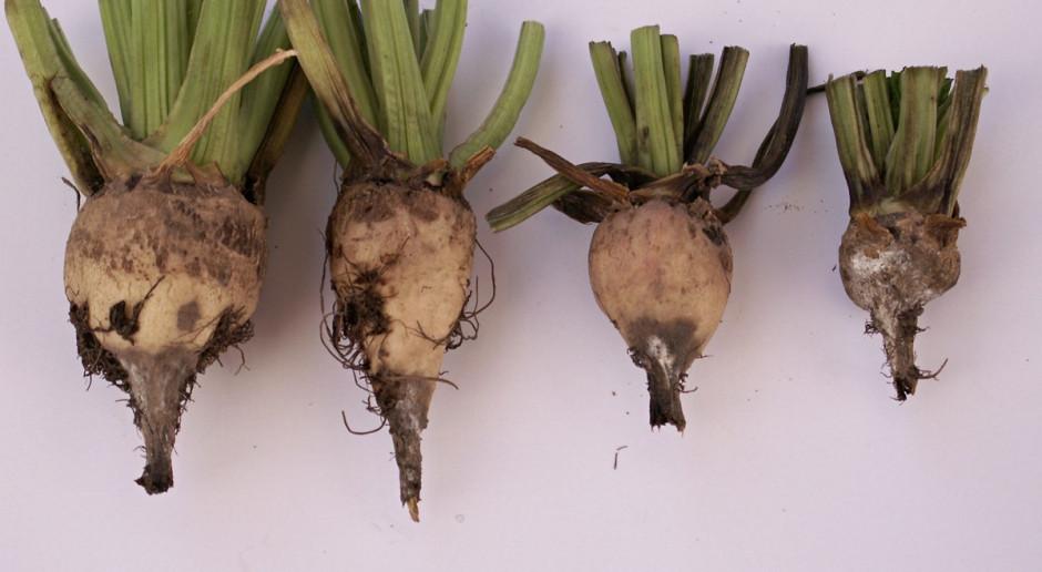 Zgnilizny korzeni wszechobecne na plantacjach buraka cukrowego