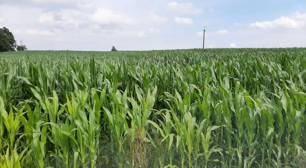 Jak uniknąć problemów w uprawie kukurydzy – od siewu do teraz