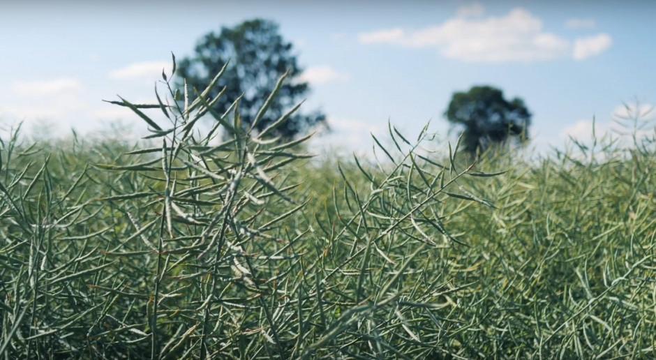 Omówienie odmian półkarłowych rzepaku ozimego marki Pioneer