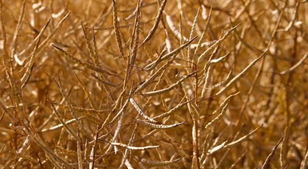 USDA: Niższa prognoza światowej produkcji nasion oleistych