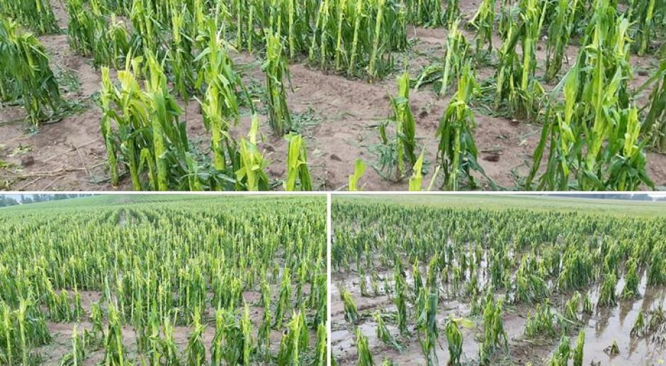 Co z kukurydzą po gradobiciu lub deszczach nawalnych?