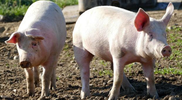USDA: Chińscy rolnicy utrzymują coraz mniej świń