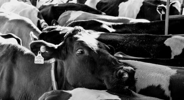 Rząd przyjął projekt ustawy o organizacji hodowli i rozrodzie zwierząt gospodarskich