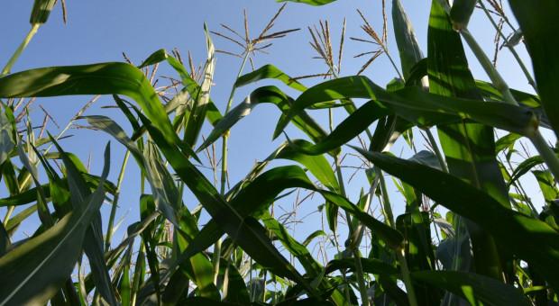 Kukurydza w pytaniach – praktyczne rady