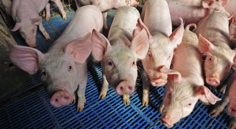Ukraiński agroholding zwiększył sprzedaż świń