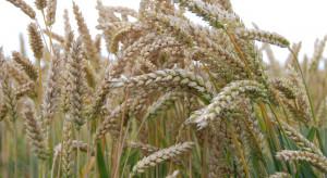 Prawie 77 zł za kwintal pszenicy