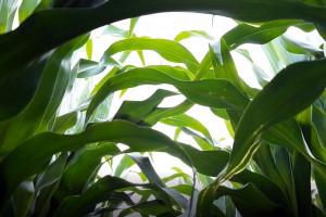 Rozwój kukurydzy nadal opóźniony