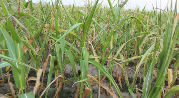 Susza w Europie Południowo-Wschodniej rzutuje na zbiory kukurydzy