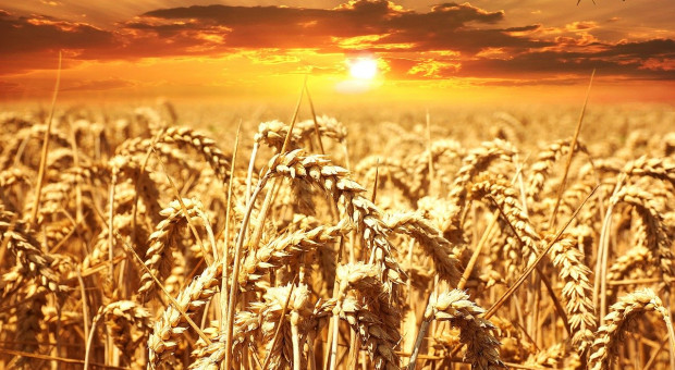 Nowy rekord świata: Ponad 17 ton pszenicy z hektara
