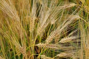 Mimo opadów, susza rolnicza na terenie siedmiu województw