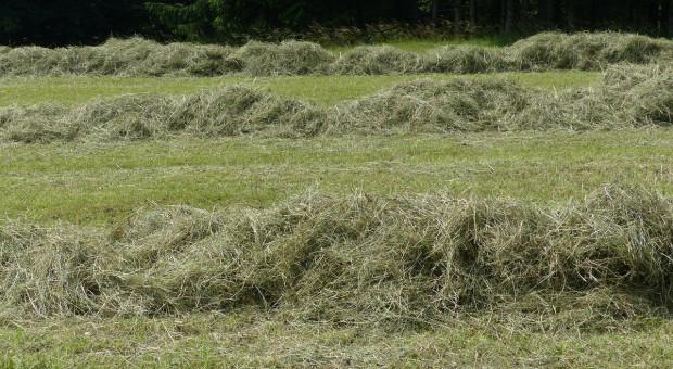 Białoruś planuje zakonserwować 9,3 mln ton zielonki