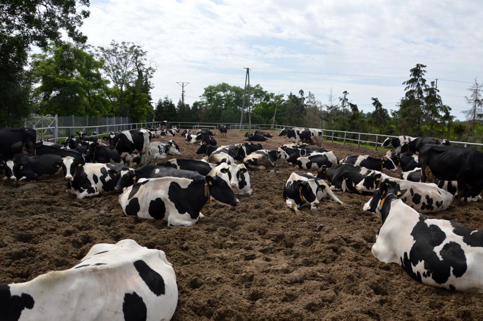 Krowy dojne w gospodarstwie mają całoroczny dostęp do wybiegu, z którego bardzo często i tłumnie korzystają