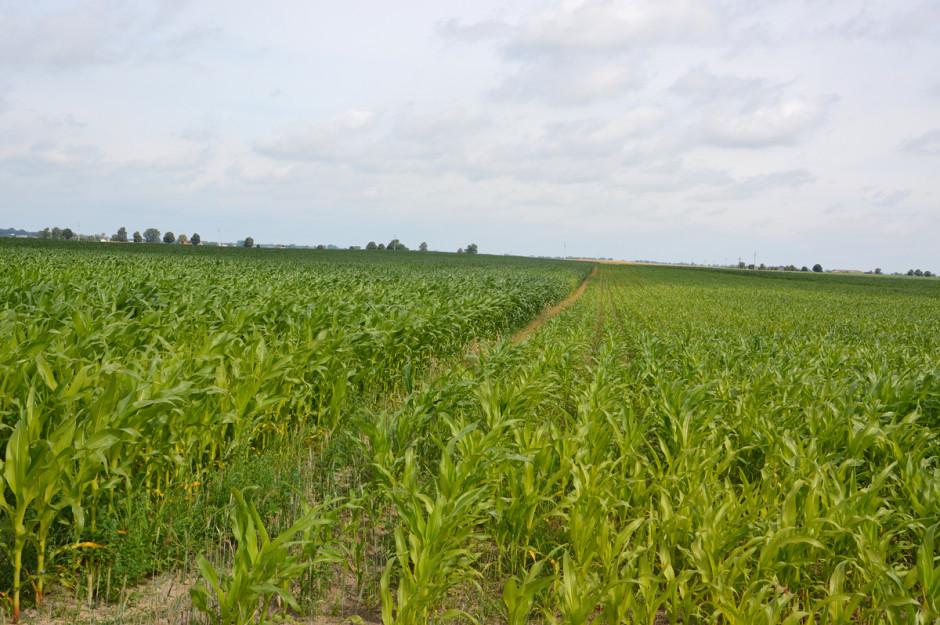Obie plantacje zasiane wodstępie tygodnia. Wyższa kukurydza po lewej jest uprawiana wsystemie bezorkowym