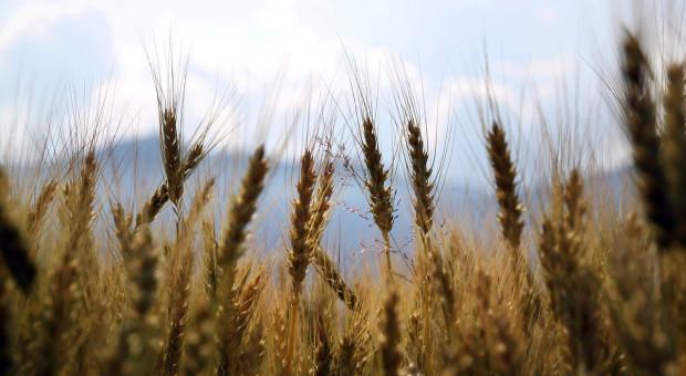 Rekordowe, ale problematyczne zbiory pszenicy w Chinach