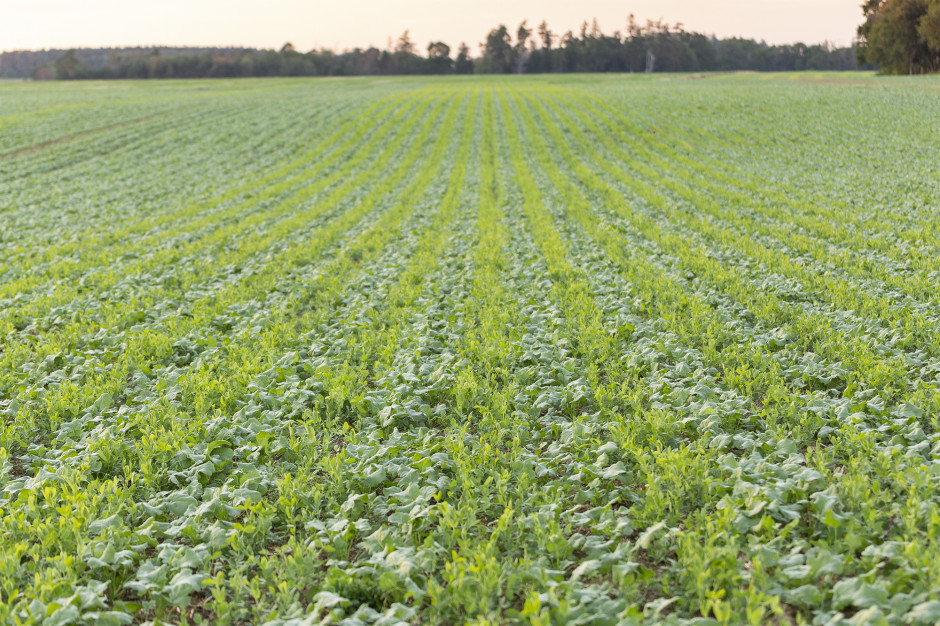 Rzepak wysiany wpodwójne rzędy, co25cmzroślinami towarzyszącymi pomiędzy (50cm), któremają dostarczyć naturalnego azotu