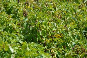 Skuteczność działania fungicydów w zwalczaniu chorób ziemniaka