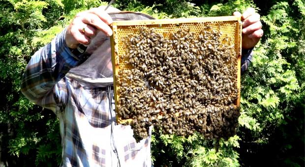W Lesie Zwierzynieckim zasiedlanie pszczół w barci i kłodach bartnych