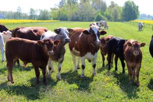 Pandemia koronawirusa nadal blokuje wzrost ceny bydła