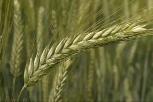 KOWR podsumowuje mijający sezon w skupie zbóż