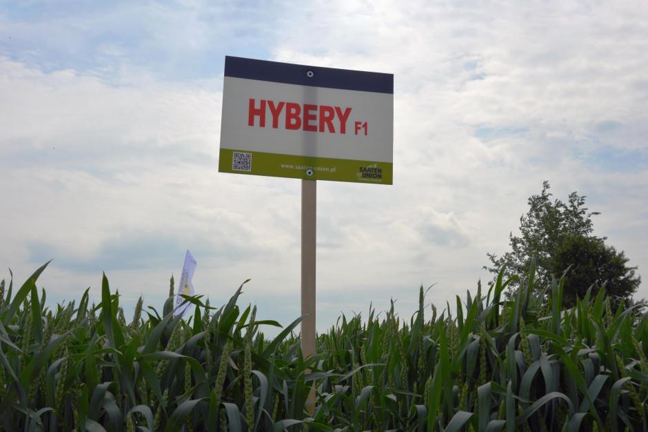 Hybery – odmiana mieszańcowa pszenicy zwyczajnej zarejestrowana w Polsce Fot. Katarzyna Szulc